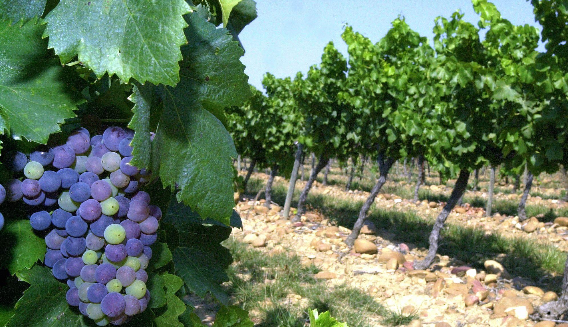 Jean louis escudier il faut aller du vin la vigne et - Quand faut il tailler la vigne ...