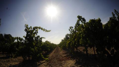 Le domaine de la Jasse irrigue ses vignes avec… de l'urine