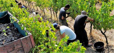 Vendanges 2018 en Occitanie : vers une récolte moyenne mais un millésime prometteur