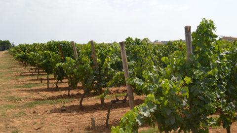 VCR France : pour Kévin Baralon, « on fait du bon vin avec les cépages hybrides »