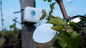 Positionné dans la canopée, le capteur d'humectation foliaire informe le vigneron sur la présence d'eau sur les feuilles et sur la durée d'humectation du feuillage (Weenat)